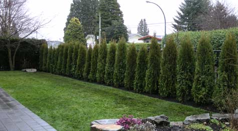 Cedar Hedge - After